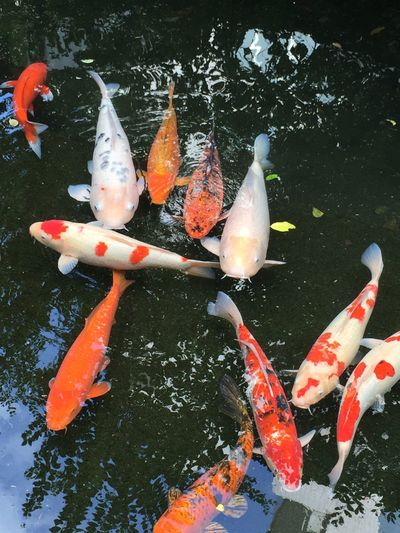 Aquatic Beauty In Nature Carp Close-up Day Fish Floating On Water Koi Koi Carp Koi Fish Koi Fishes Koi Pond Medium Group Of Animals Nature No People Orange Color Outdoors School Of Fish Sea Life Swimming Tranquility Water 鯉