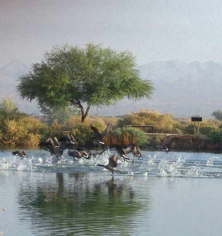 Animal Wildlife Animals In The Wild Bird Birds In Flight Canadian Geese Geese In Flight Nature No People TakeOff Water