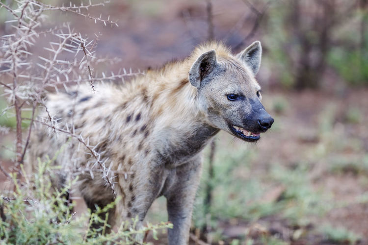 Close-Up Of Hyena Standing Outdoors