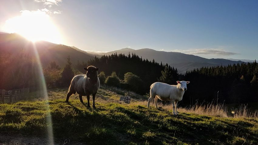 Goat Animal Themes Beauty In Nature Day Domestic Animals Field Grass Landscape Livestock Mammal Mountain Nature No People Outdoors Scenics Sky Sunlight Sunset Tree