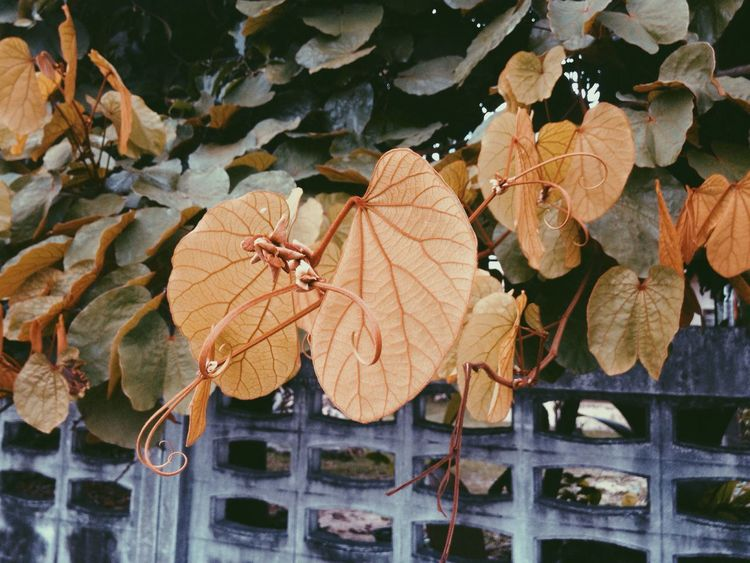 The golden leaf tree in Narathiwat, Thailand Leaf Autumn Change Dry Leaves Day Outdoors Maple Leaf No People Nature Maple Close-up Beauty In Nature Fragility Golden Leaf Golden Leaves Tree Gold Plant Famous Magic