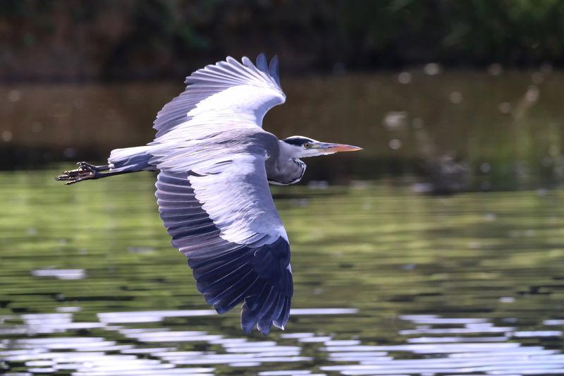 Gray heron flying over lake