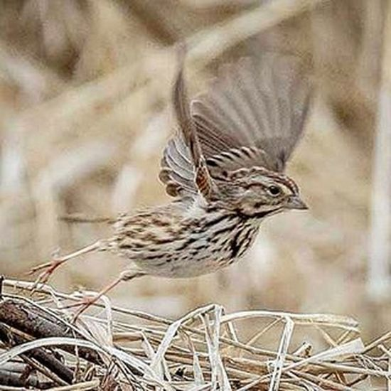 Ready for take off 🐦 Sparrows TakeOff Songsparrow Ig_discover_wildlife $ig_discover_birds Show_us_nature Wildlife_perfection Naturephotography TeamCanon Wings Flap Kdii d