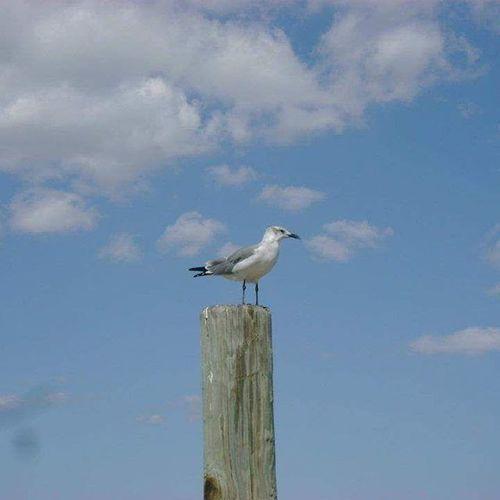 Corpus Christi, Tx Seagull