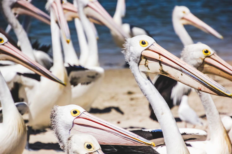 pelicans at a local beach waiting for a regular feed by a local fish market Bird Animal Animal Themes Animal Wildlife Vertebrate Group Of Animals Animals In The Wild Beak Pelican No People Focus On Foreground Close-up Day Nature Water Outdoors Flock Of Birds Animal Eye Beach