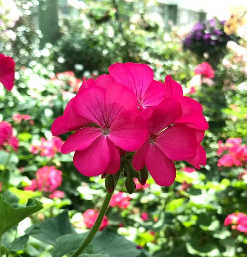 Flower Growth Pink Color Petal Nature Plant Beauty In Nature Fragility Blooming Day Outdoors Flower Head Freshness No People Red Close-up Petunia Periwinkle