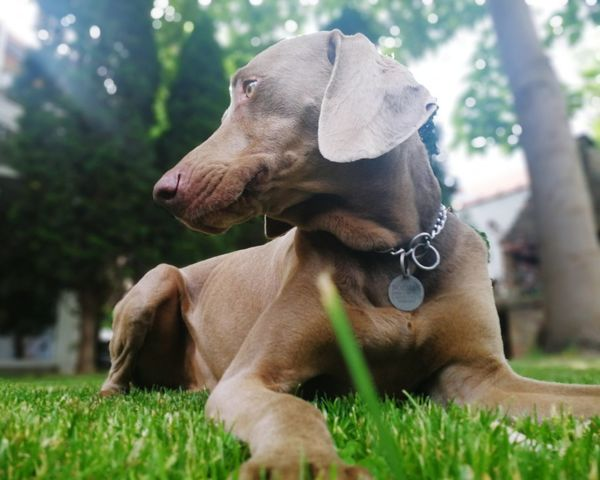 Enjoying lazy spring afternoon. Spring Lazy Sunday Lazy Enjoying Life Weimaranerlove Weimaraners Of Eyeem Weimaraners Looking Away Yard Green Greengrass Pets Dog Happiness Pet Collar Grass