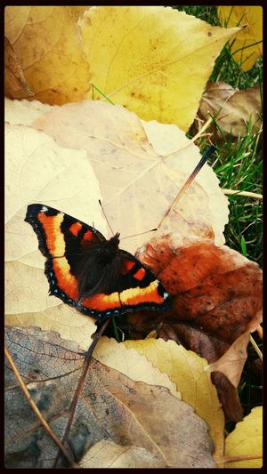 Fall Butterfly :) <3