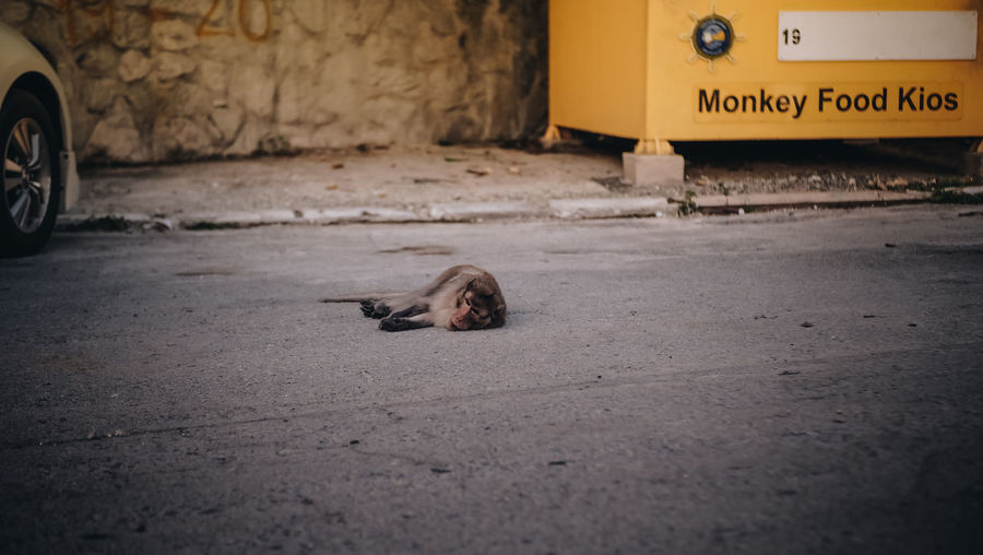 Primate Animal Animal Themes Mammal No People One Animal Pets Road Street