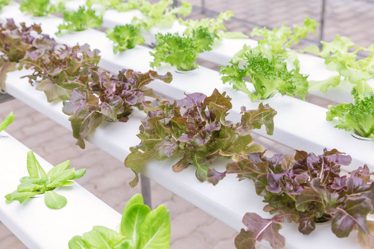 Hydroponics greenhouse. Organic green vegetables salad in hydroponics farm for health, food and agriculture concept design. Hydroponics is a non soil plant. Agriculture Farm Green Growth Nature Plant Background Close-up Coriander Environment Farming Flower Flowering Plant Focus On Foreground Food Food And Drink Fresh Freshness Garden Green Color Greenhouse Grow Health Healthy Healthy Eating Herb High Angle View Hydroponic Hydroponics Indoors  Leaf Nature No People Organic Plant Plant Part Plantation Purple Still Life Table Technology Vegetable Water Wellbeing
