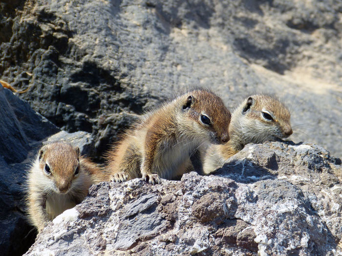 Animal Wildlife Animals In The Wild Atlashörnchen Baby Animals Barbary Ground Squirrel Berberhörnchen Cute Animals Erdhörnchen Fuerteventura Mammal Stony Ground Canary Islands Cuteness Overload Ground Squirrel