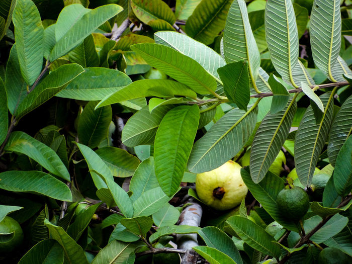 Full frame shot of guava tree
