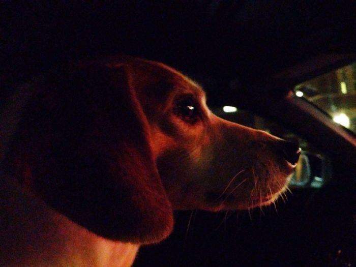 Low Light Night Night Photography Red Light Car Ride  Pet Behavior Jack Russell Terrier Mixed-breed Dog Jackrussellterrier Jackabee Pets Beagle Dog Close-up Canine