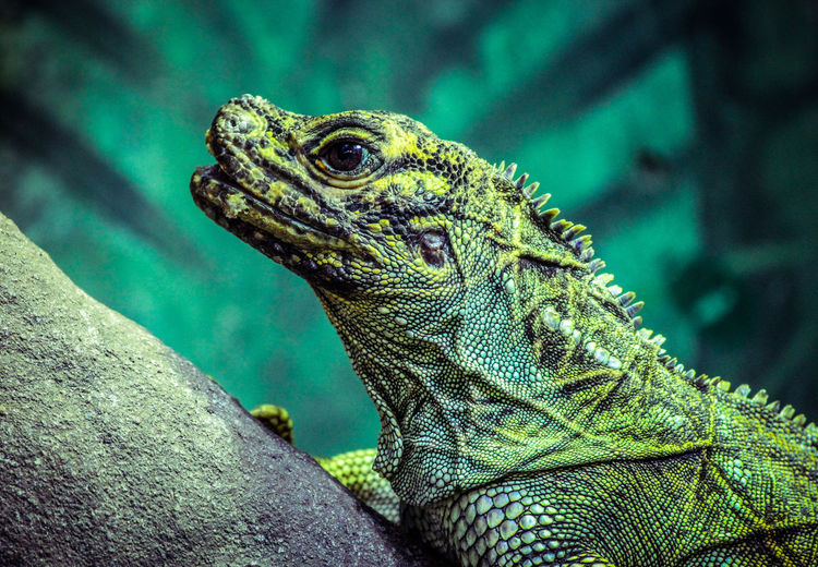 Animal Themes Animal Wildlife Animals In The Wild Close-up Day Green Color Iguana Lizard Nature No People One Animal Outdoors Reptile
