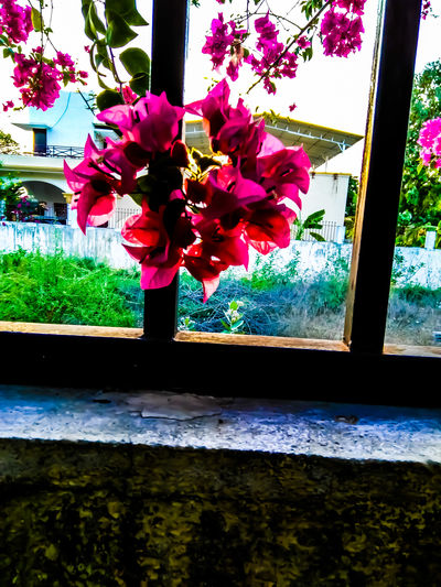 Flower Flower Head Window Close-up Plant Bougainvillea Plant Life Botany Pistil In Bloom