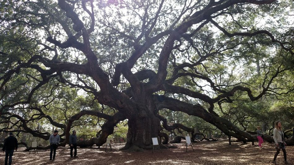 Tree Nature No People Growth Sky Outdoors Beauty In Nature Low Angle View Day Angel Oak Mount Pleasant, SC Mount Pleasant South Carolina James Island