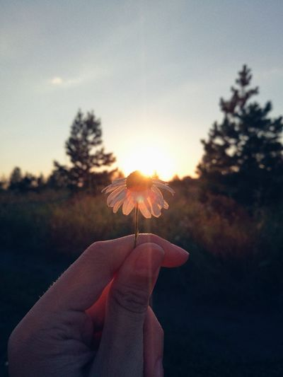 Close-up of hand holding flower against sky at sunset