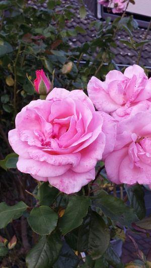 Flower Ros 🌹 Roses