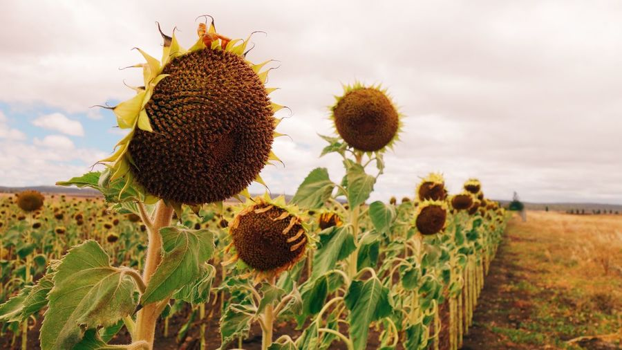 Yellow Summer Sunflower Queensland Drought Australia Farm Plant Growth Nature Sky Land Beauty In Nature Sunflower Close-up Flower Head Cloud - Sky Spiked Landscape Flower Thorn Day No People Flowering Plant Tranquility Field Freshness