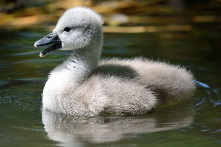 Close-Up Of Cygnet Swimming