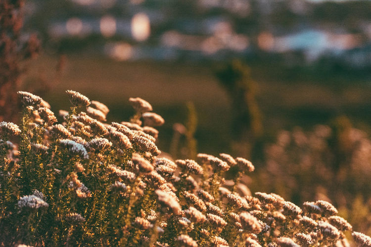 Even plants watch the sunset Adventure Adventures Beauty In Nature Close-up Field Flower Focus On Foreground Growing Growth Hilltop Nature Outdoor Photography Outdoors Plants Sundown Tranquility