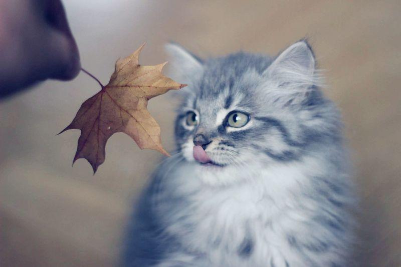 This cutie though, love her 😻 Kitten, Cat Cute Cats Pets Sibiriancat Grey Duchess Cutenessoverload.