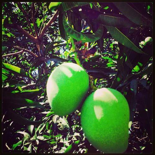Green Mango Trees Focused Fruits Fresh Healthy