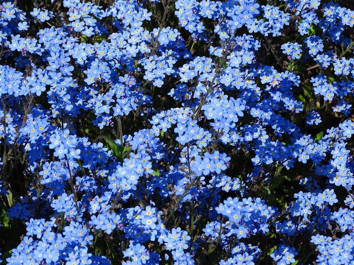Backgrounds Beauty In Nature Close-up Day Flower Forget Me Not Fragility Freshness Full Frame Growth Low Angle View Nature No People Outdoors