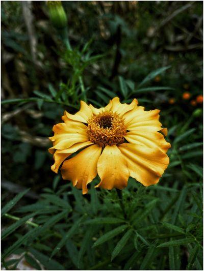 Flowers Nature Golden Marigold