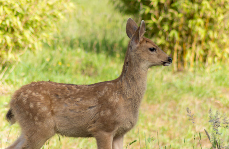 Little Fawn Adorable Animal Themes Animals Animals In The Wild Beauty In Nature Close-up Cute Day Deer Fawn Field Focus On Foreground Grass Grass Grassy Green Color Growth Mammal Nature No People Outdoors Pattern Selective Focus Spots Wildlife & Nature