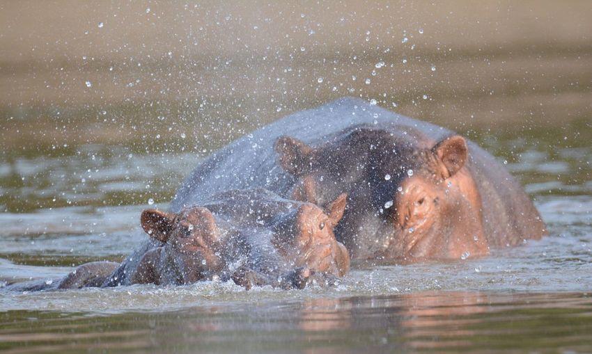 Hippopotamus Splashing Water In Lake