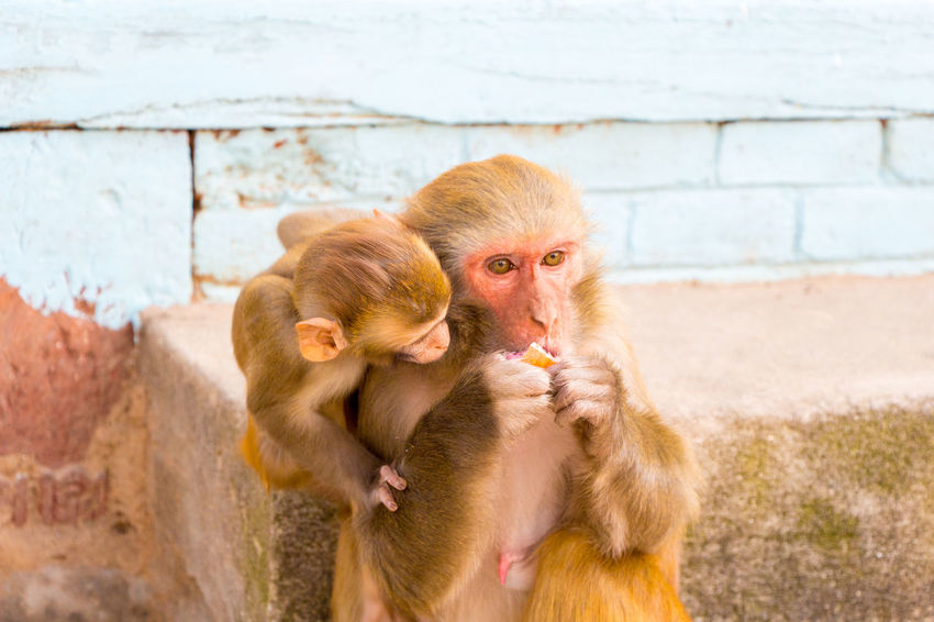 Rhesus Macaque Animal Family Animal Wildlife Animals In The Wild Care Day Focus On Foreground Group Of Animals Mammal Monkey Mother And Child Primate Togetherness Two Animals Vertebrate Young Animal
