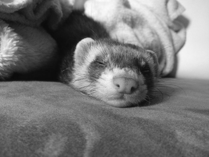 EyeEm Selects Pets One Animal Animal Themes Domestic Animals Indoors  No People Young Animal Bed Portrait Ferret Ferrets  Ferret ❤️❤️❤️ Ferretlove Ferrettime FerretFriends Furet Furets Furetto Pet Portraits The Week On EyeEm