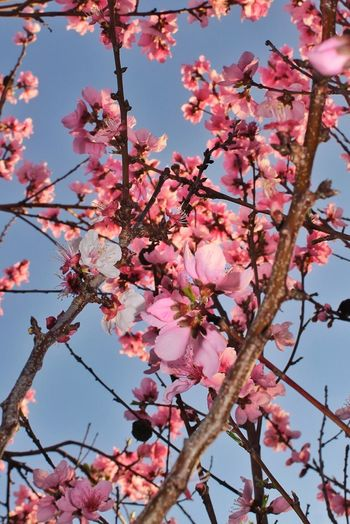 Early Morning Nectarine Blossoms