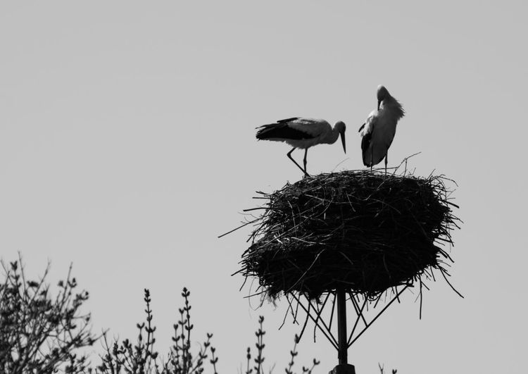 EyeEm Gallery EyeEm Nature Lover Biebrza National Park Podlasie Polska Polska Animal Family Bird Clear Sky Nature Outdoors Rozlewiska Storks Two Animals