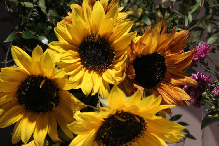 High angle view of sunflowers on flowering plant