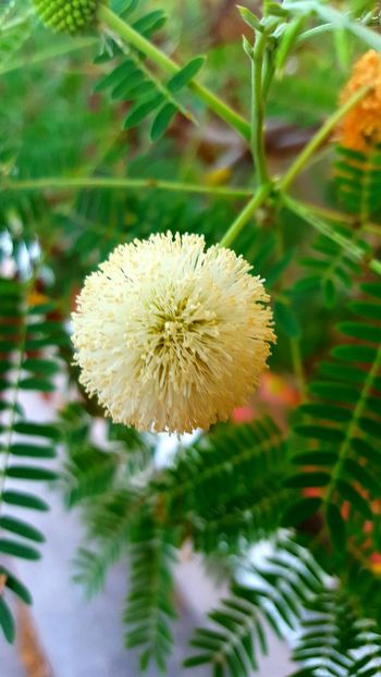 Pom pom flower Pom Pom Flower Flower White Flower At Its Best Flower Head