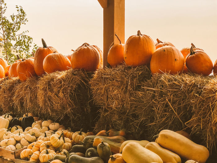 View of pumpkins in farm