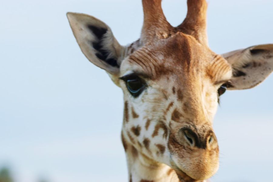 Giraffe Selfie. Zoo Ears Spots Blur Australia African Africa Giraffe EyeEm Selects Animal Themes Animal One Animal Animal Wildlife Mammal Animals In The Wild Sky Animal Body Part Animal Head  Close-up Giraffe Portrait Looking At Camera Animal Markings Nature Day Safari No People