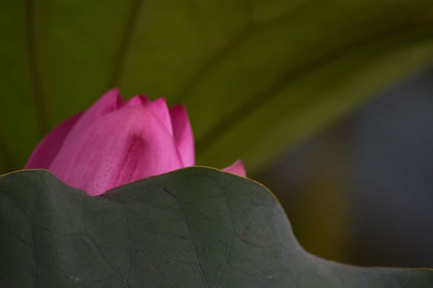 EyeEm Flower Lotus Beauty In Nature Flowering Plant Vulnerability  Flower Plant Fragility Petal Close-up Freshness Pink Color Leaf Flower Head Focus On Foreground