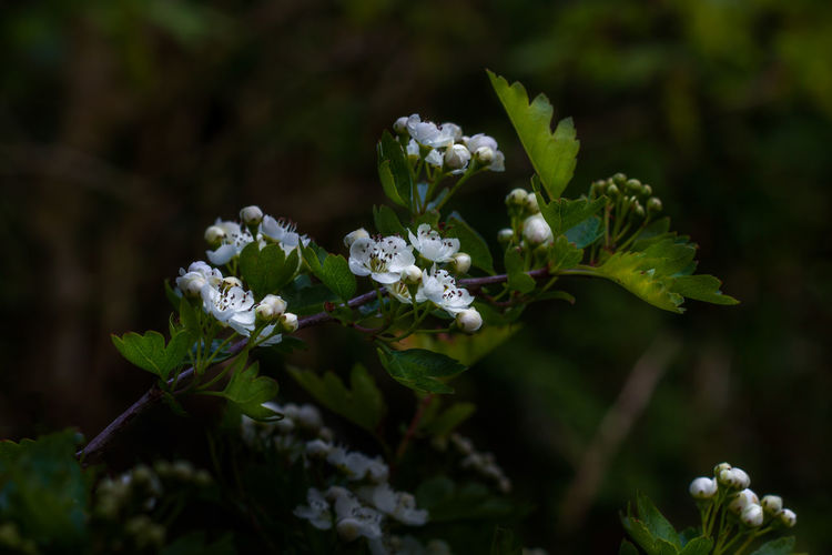 Spring Blossoms  Flower Growth Beauty In Nature Close-up Vulnerability  White Color Flowering Plant Fragility Leaf Nature Focus On Foreground Selective Focus Flower Head Springtime Green Color Isle Of Man My Best Photo Springtime Decadence