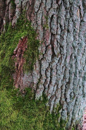 moss on oark bark. full frame natural background. Oak Bark Bark Texture Mossy Oaks Textured  Texture Background Photography Natural Backgroud Oaktree Mossy Moss Moss & Lichen Textures In Nature Bark Oaks