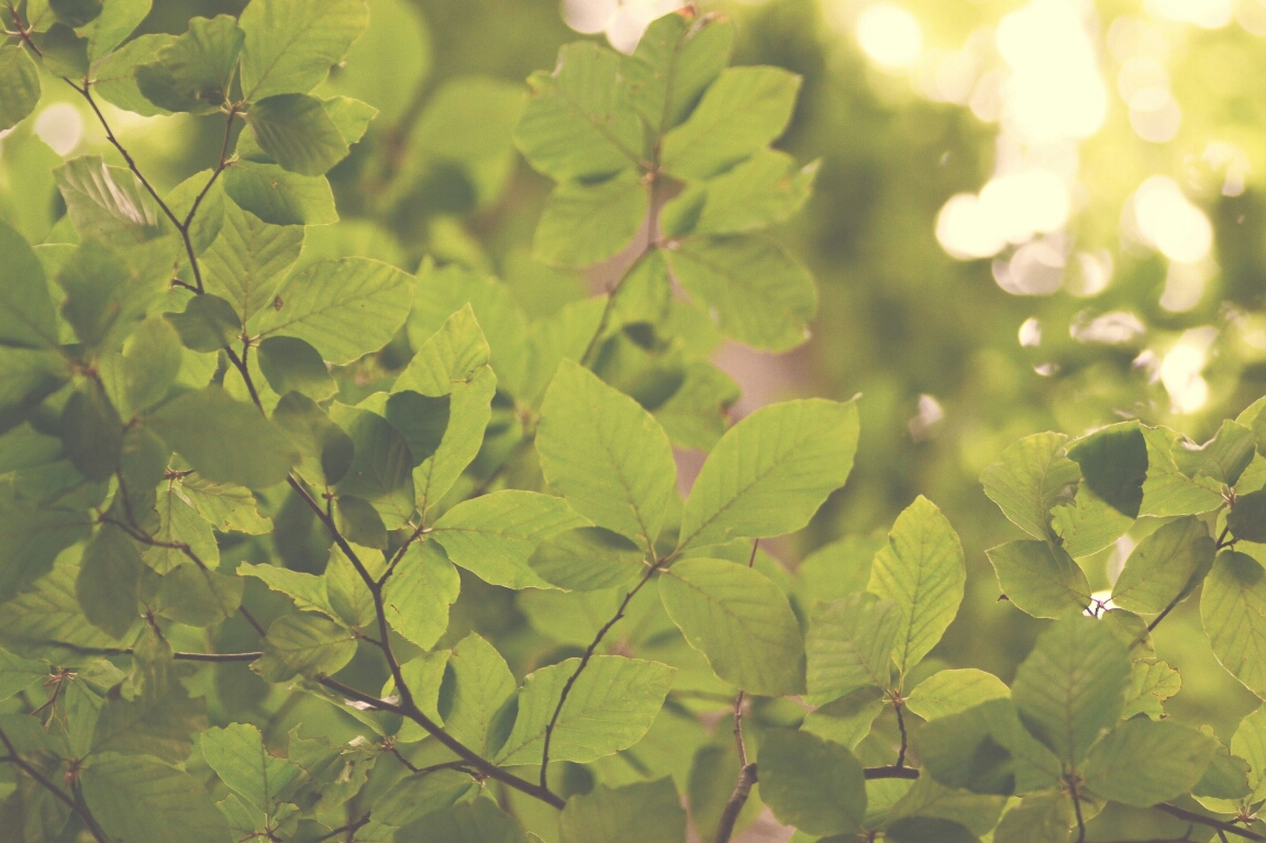 leaf, growth, green color, branch, nature, tree, close-up, focus on foreground, plant, full frame, beauty in nature, backgrounds, tranquility, leaves, day, outdoors, no people, sunlight, selective focus, forest