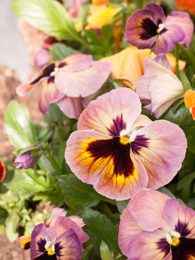 High angle view of pink pansies growing on plant
