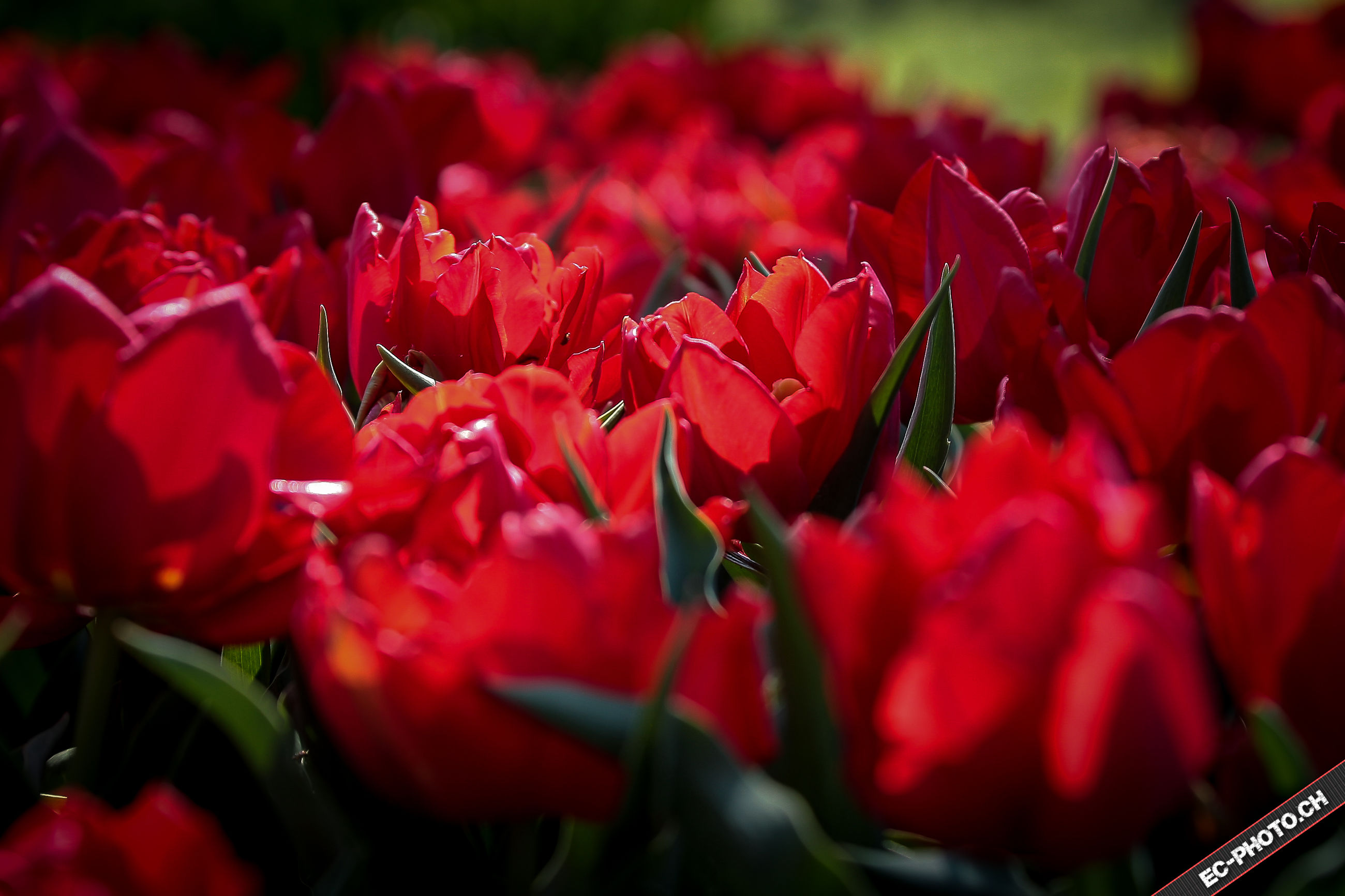 red, freshness, abundance, growth, close-up, focus on foreground, beauty in nature, selective focus, flower, leaf, nature, large group of objects, day, tulip, outdoors, no people, full frame, backgrounds, plant, fragility