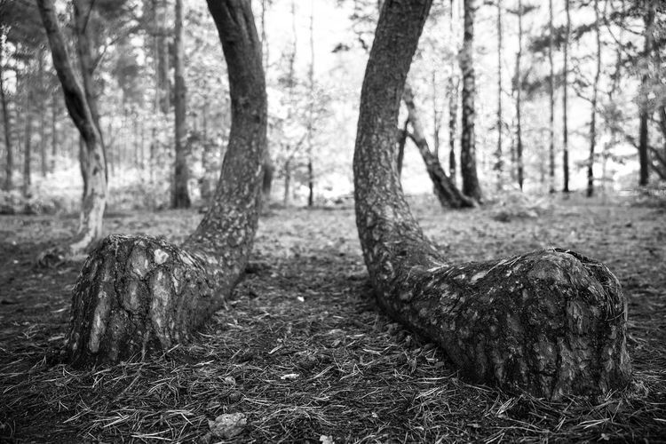 Mr. Rabbit. Tree Tree Trunk Nature Forest Outdoors No People Animal Themes Beauty In Nature Rabbit Rabbit Feet Feet Crooked Forest Crooked Nature Black And White Blackandwhite Bw Poland Polska Tree Europe Animals Cropped Krzywy-las