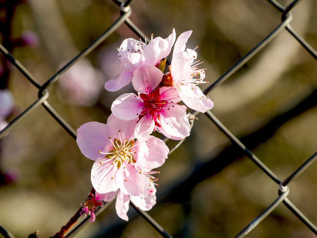 Agriculture Almond Blossom Almond Tree Beauty In Nature Blooming Close-up Environment Fence Floral Flower Flower Head Flowers Flowers,Plants & Garden Fragility Metallic Fence Nature Nature No People Outdoors Petal Pink Color Pink Flower Pollen Prunus Stamen