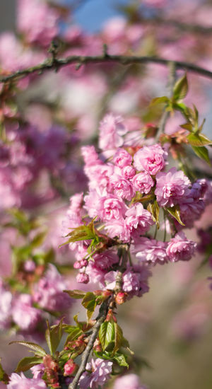 Flower Head Flower Tree Springtime Pink Color Blossom Close-up Plant In Bloom Pollen Blooming Botany