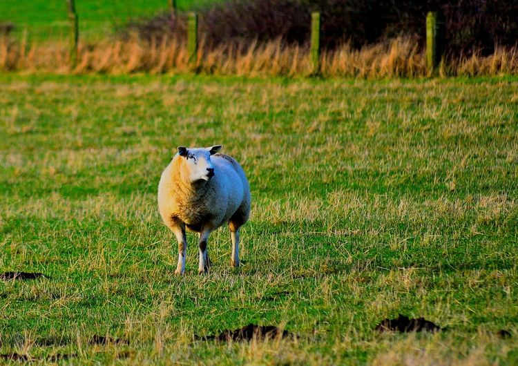 Adventure Adventures Animal Themes Animals Day Domestic Animals Field Grass Green Color Lamb Landscape Landscape_Collection Landscape_photography Livestock Looking At Camera Mammal Mammals Nature No People One Animal Outdoors Sheep Standing Warkworth Young Animal