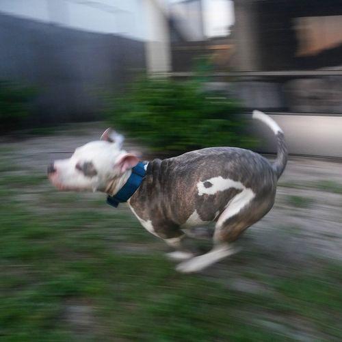 Dog Pitbull Fast Movement Movement Photography Burst Burstphotos Running Dog Running Emotion Happy Dog